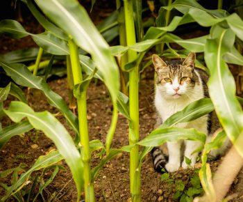 Katze im Maisfeld
